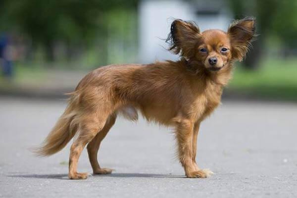 carácter perro pequeño ruso