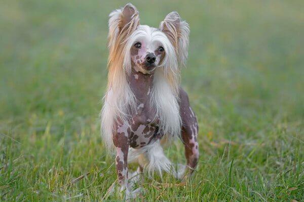crestado chino perro de compañía