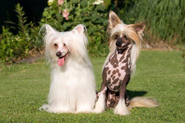 Origen raza perro crestado chino