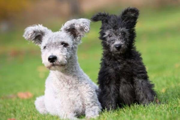 Origen raza perro Pumi