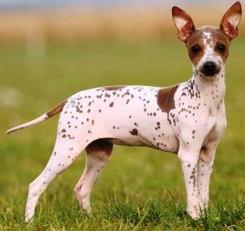 cuantas razas de perro sin pelo existen