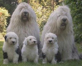 familia de perros bobtails
