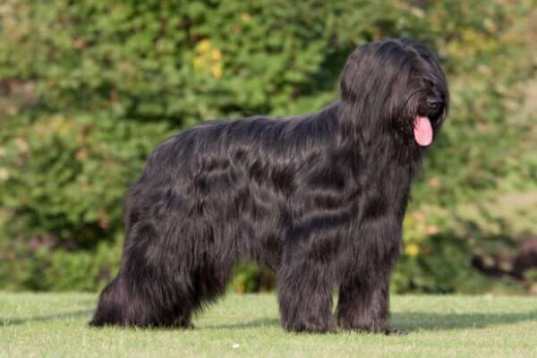 perro boyero de Flandes descripción