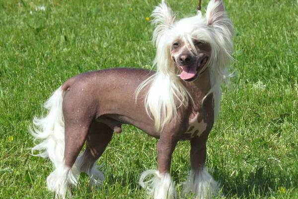 perro crestado chino origen