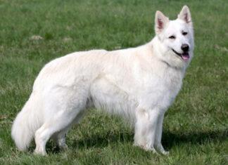 pastor blanco suizo descripción