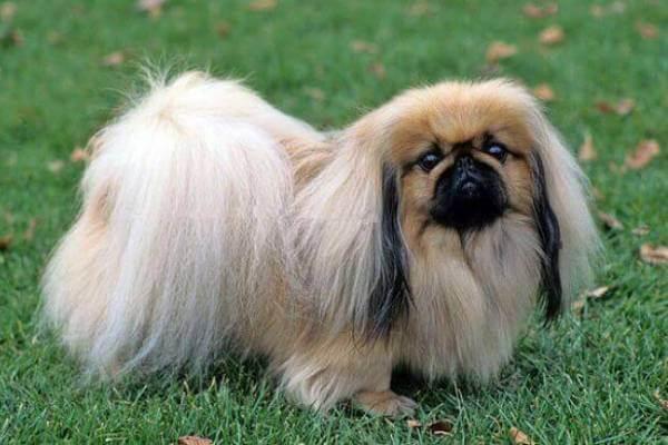 perro Pekinés descripción