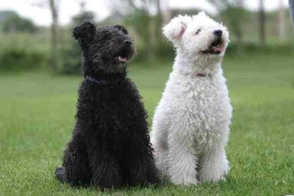 origen raza de perro pumi