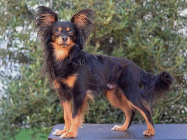 raza pequeño perro de Rusia