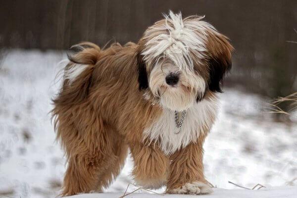 enfermedades típicas raza terrier tibetano