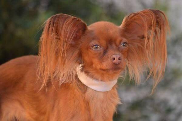 origen pequeño perro ruso