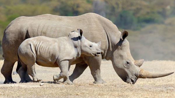 ¿Qué clase de animal es un rinoceronte?