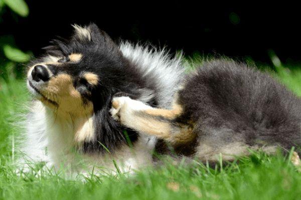 Cómo eliminar pulgas en perros