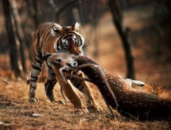 Cómo obtienen su alimento los tigres