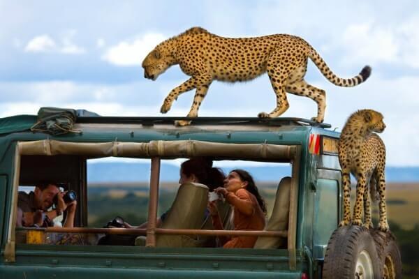 por qué hay menos guepardos