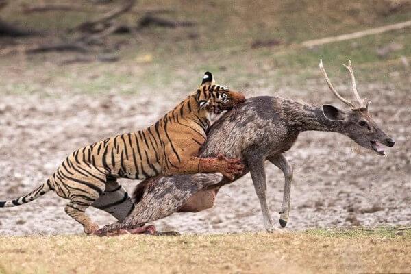 presas del tigre