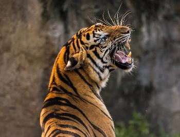 tigre sociabilidad