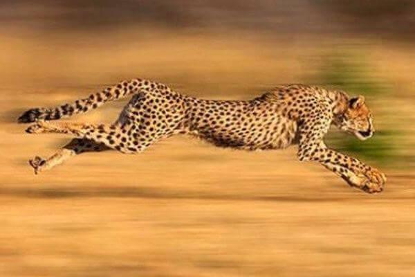 cuánto caza el guepardo