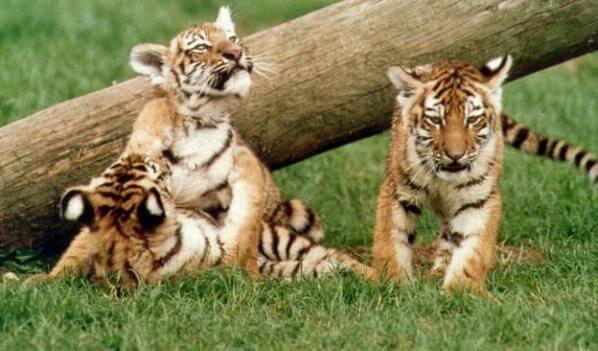 etapas crecimiento crías de tigre