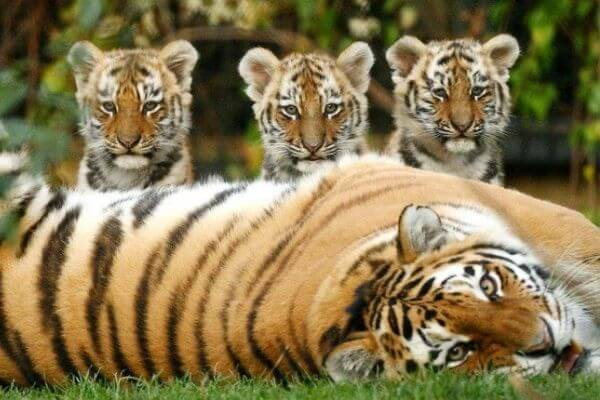Cómo se le llama a la cría del tigre