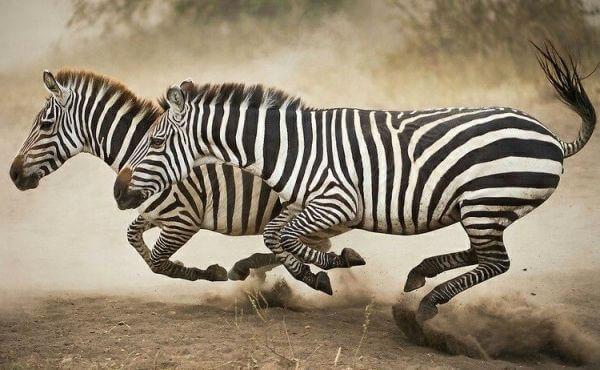 qué velocidad alcanzan las cebras