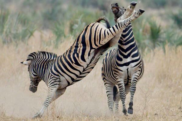 cebras viven en manadas