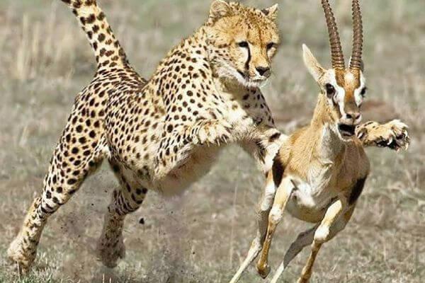 cómo cazan los guepardos