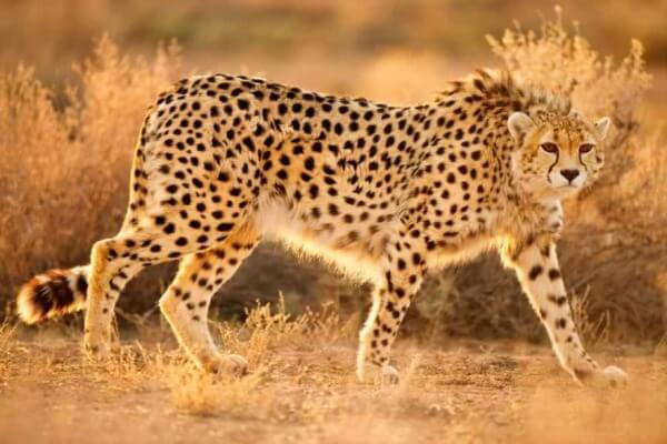 apariencia peso medidas guepardo