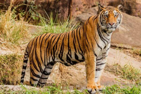 tigres descripción