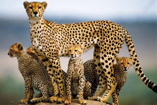 cómo se reproducen los guepardos