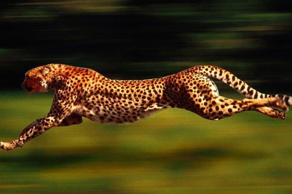 Cuánto es lo máximo que corren los guepardos