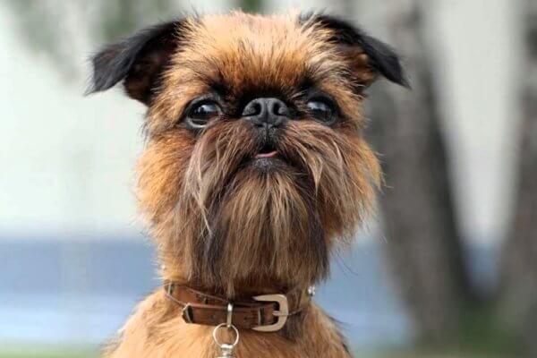 salud perro grifón belga