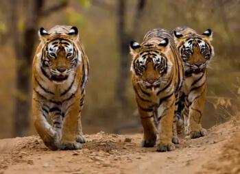 Cómo es la forma de vida de los Tigres