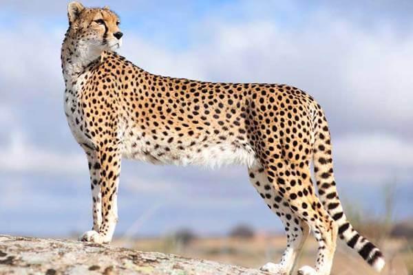 guepardos descripción