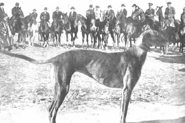 historia de la raza galgo español