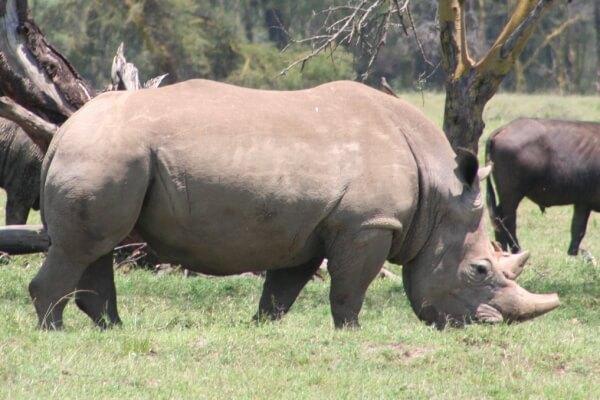 ¿Cómo se alimentan los rinocerontes?