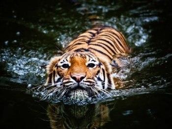 curiosidades del tigre
