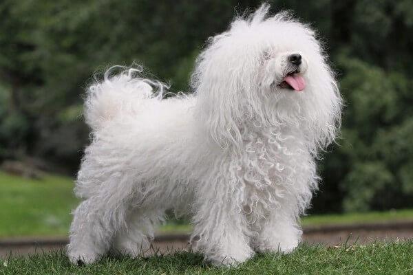 perro bichón boloñés cómo es