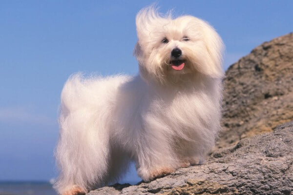 perro coton tulear descripción
