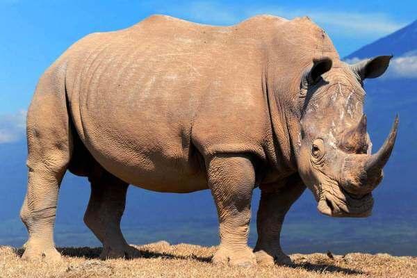 cómo es el rinoceronte