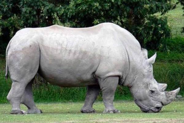 rinoceronte blanco características