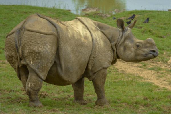 carcacterísticas rinoceronte Sumatra