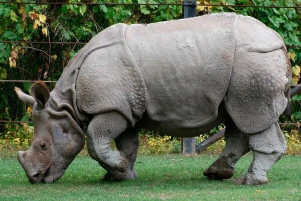 características del rinoceronte indio