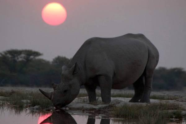 características del rinoceronte negro