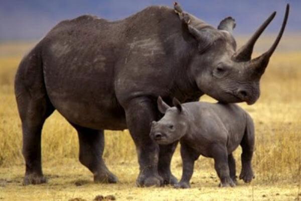 rinoceronte negro descripción