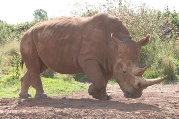 rinoceronte en peligro de desaparecer