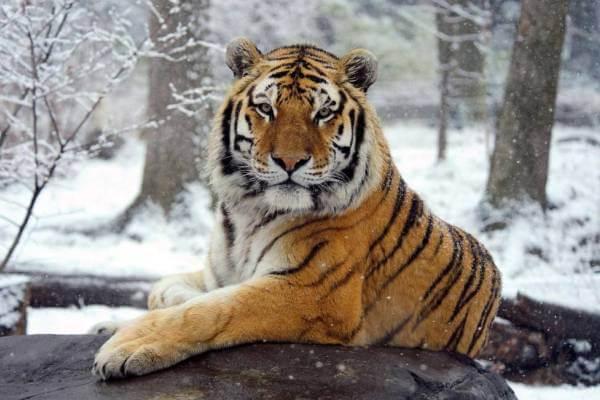 tigre carácter