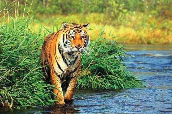 ¿Dónde vive el tigre y que necesita para vivir?