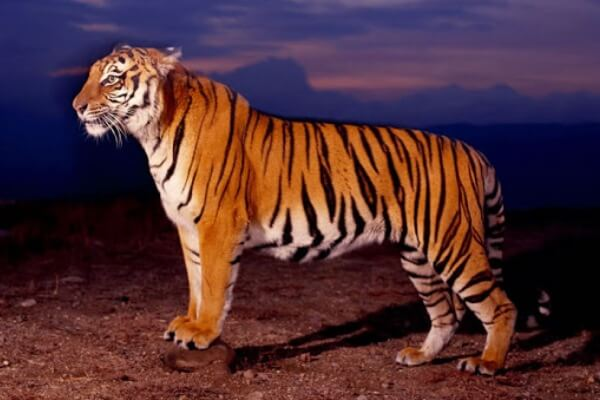 caracteristicas del tigre para niños