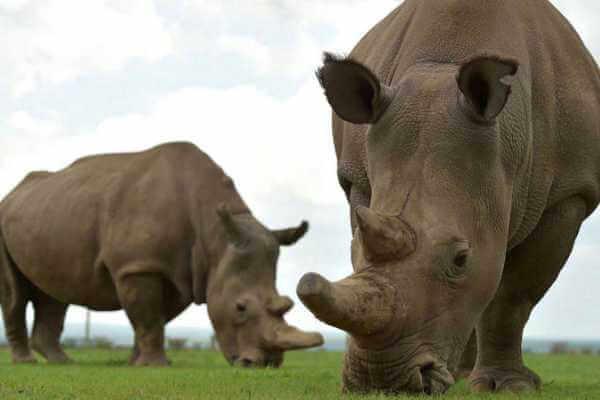 tipos de rinocerontes que existen