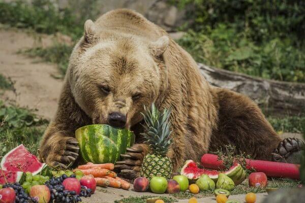 qué es lo que comen los osos explicado para niños